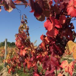 Côt/Malbec en automne